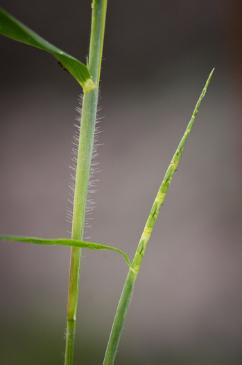 sheath: Rottboellia cochinchinensis, Itch-grass