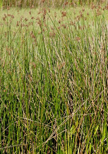 image of Schoenoplectus californicus, Giant Bulrush, Southern Bulrush, Tule