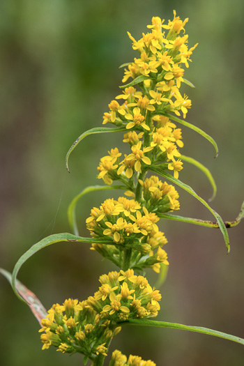 image of Solidago curtisii, Curtis's Goldenrod