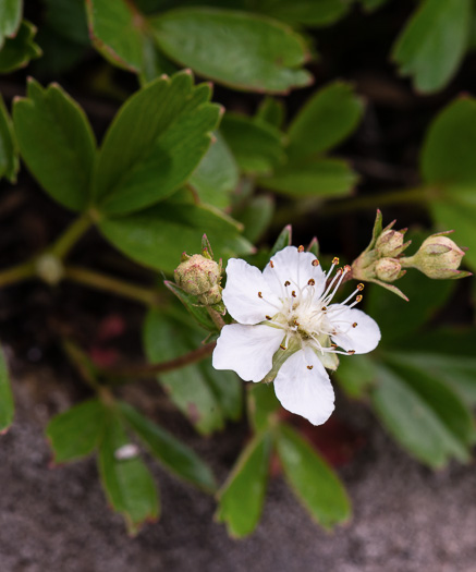 Sibbaldia tridentata, Wine-leaf Cinqefoil, Mountain Cinqefoil, Three-toothed Cinqefoil, Mountain White Potentilla