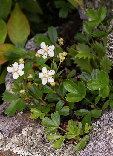 image of Sibbaldia tridentata, Wine-leaf Cinqefoil, Mountain Cinqefoil, Three-toothed Cinqefoil, Mountain White Potentilla