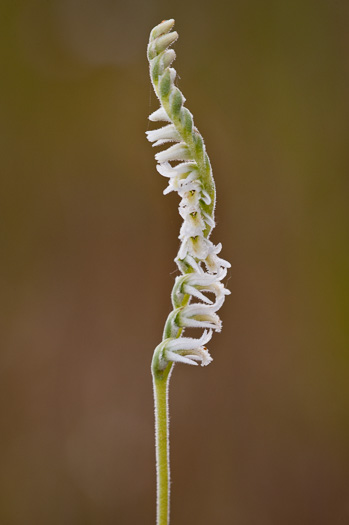 sepals or bracts of Spiranthes vernalis, Spring Ladies'-tresses