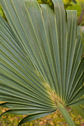 image of Sabal palmetto, Cabbage Palmetto