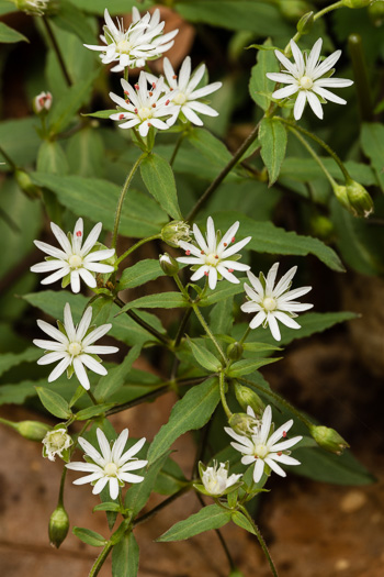 image of Stellaria pubera, Giant Chickweed, Star Chickweed, Great Chickweed, Common Starwort