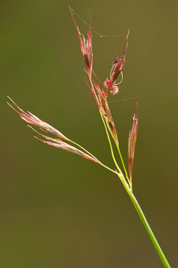 spikelet: Triplasis americana, Southern Sandgrass