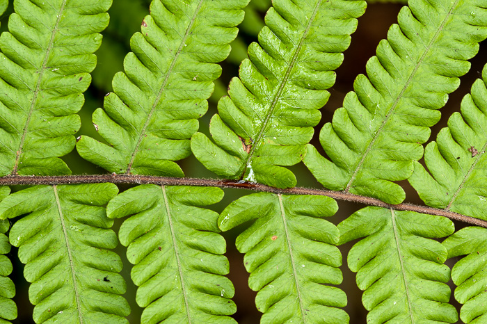 image of Christella dentata, Downy Maiden Fern, Soft Fern, Downy Shield Fern