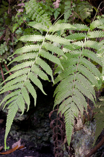 image of Christella species 1 (=kunthii), Kunth's Maiden Fern, Southern Shield Fern, Southern Wood Fern