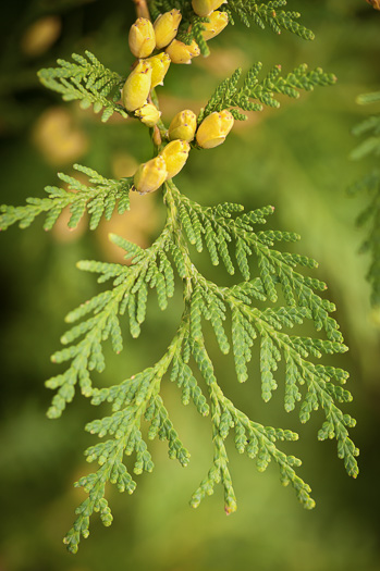 image of Thuja occidentalis, American Arborvitae, Eastern Arborvitae, Northern White Cedar, Flat Cedar