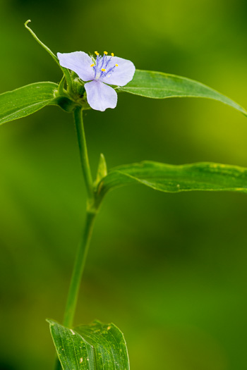 image of Tradescantia subaspera, Zigzag Spiderwort, Wide-leaved Spiderwort