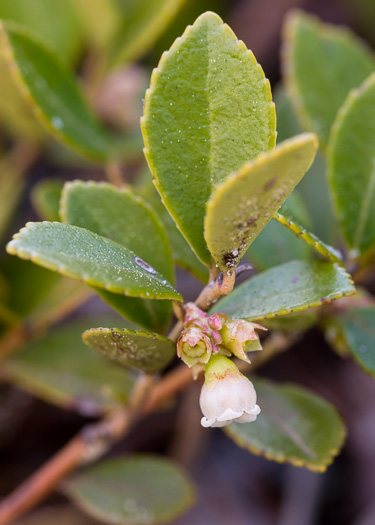 image of Vaccinium sempervirens, Rayner's Blueberry