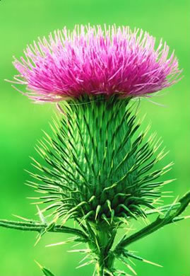 flower of Cirsium vulgare, Bull Thistle