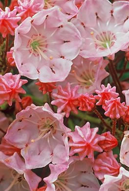 flower of Kalmia latifolia, Mountain Laurel, Ivy, Calico-bush, Mountain Ivy