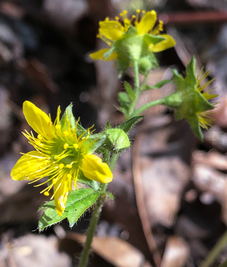 image of Geum fragarioides, Northern Barren Strawberry