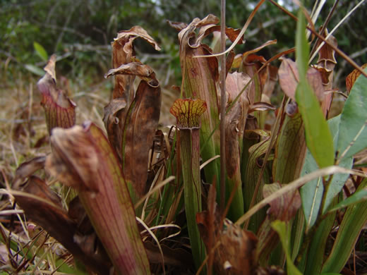 image of Sarracenia rubra ssp. rubra, Sweet Pitcherplant, Redflower Pitcherplant, Red Pitcherplant