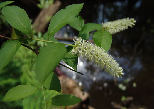image of Itea virginica, Virginia Sweetspire, Virginia-willow
