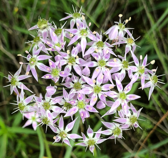 flower of Allium keeverae, Keever's Onion, Brushy Mountain Onion