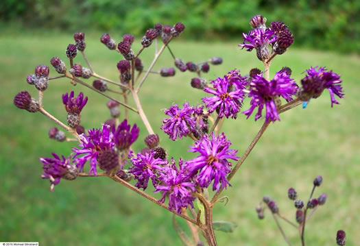 corymb: Vernonia gigantea, Tall Ironweed, Common Ironweed