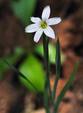 flower of Sisyrinchium dichotomum, White Irisette, Isothermal Irisette