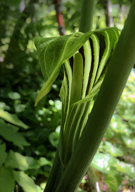 flower of Arisaema stewardsonii, Bog Jack in the Pulpit, Northern Jack in the Pulpit