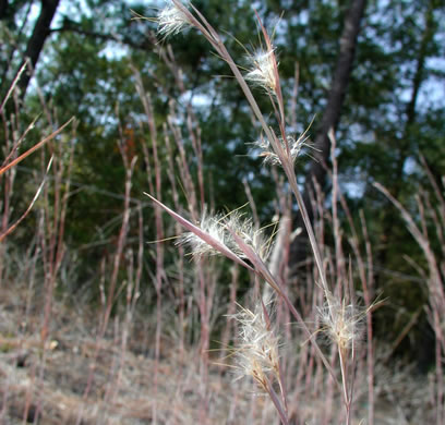 raceme: Andropogon capillipes, Andropogon capillipes, Andropogon virginicus