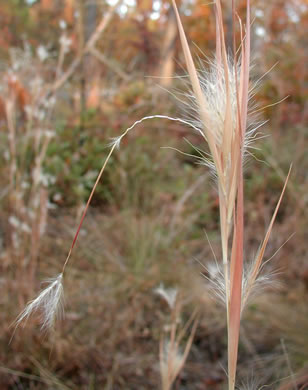 sheath: Andropogon gyrans, Elliott's Bluestem