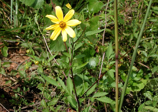 image of Bidens aristosa, Ditch Daisy, Bur-marigold, Midwestern Tickseed-sunflower