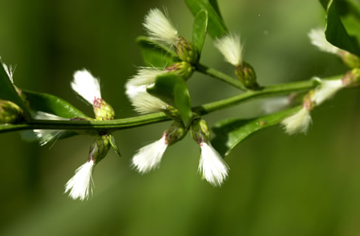 picture of Baccharis glomeruliflora, image of Baccharis glomeruliflora