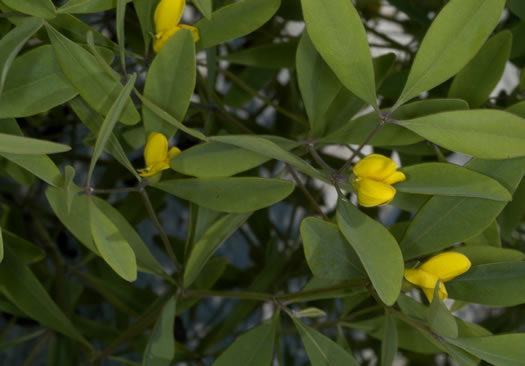 leaves that are trifoliolate and palmately compound: Baptisia lanceolata var. lanceolata, Baptisia lanceolata var. lanceolata, Baptisia lanceolata