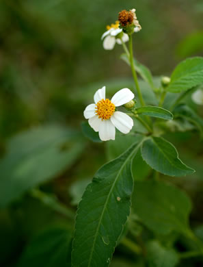 image of Bidens alba var. radiata, Hairy Beggar-ticks, Shepherd's Needle