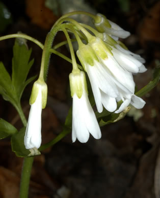 sepals or bracts of Cardamine angustata, Eastern Slender Toothwort