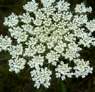 flower of Daucus carota, Queen Anne's Lace, Wild Carrot, Bird's Nest