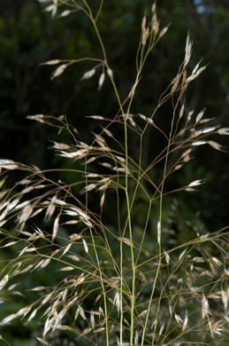 image of Avenella flexuosa, Appalachian Hairgrass, Crinkled Hairgrass, Common Hairgrass, Wavy Hairgrass