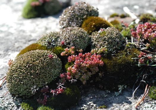 image of Diamorpha smallii, Elf-orpine