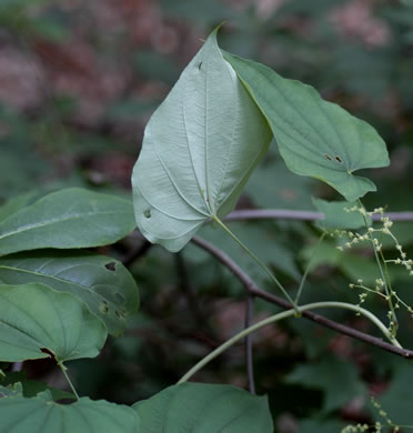 image of Dioscorea villosa, Common Wild Yam, Streamhead Yam