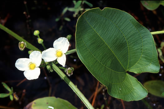 flower of Echinodorus cordifolius, Creeping Burhead, Creeping Water-plantain