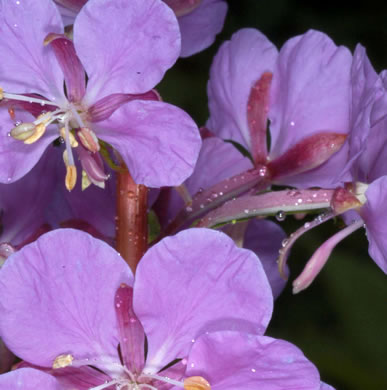 image of Chamerion platyphyllum, Great Willow-herb, Fireweed