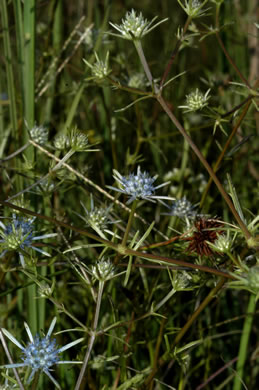 image of Eryngium integrifolium, Savanna Eryngo, Blueflower Eryngo