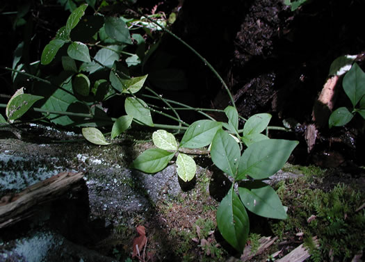 image of Euonymus obovatus, Running Strawberry-bush, Trailing Strawberry Bush, Trailing Wahoo