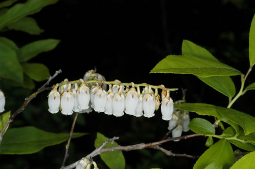 sepals or bracts of Eubotrys racemosus, Coastal Fetterbush, Swamp Sweetbells, Swamp Leucothoe, Swamp Fetterbush