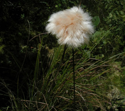 image of Eriophorum virginicum, Tawny Cottongrass