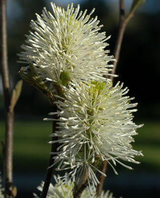 image of Fothergilla major, Large Witch-alder, Mountain Witch-alder, Fothergilla