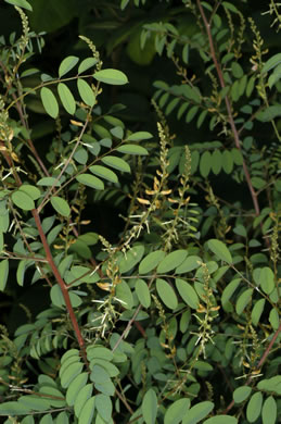 pinnately compound leaves of forbs: Indigofera caroliniana, Indigofera caroliniana, Indigofera caroliniana