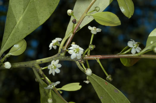 flower of Ilex coriacea, Sweet Gallberry, Big Gallberry, Large Gallberry