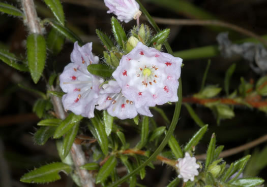 image of Kalmia hirsuta, Hairy Wicky