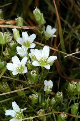 flower of Mononeuria groenlandica, Greenland Sandwort, Mountain Sandwort