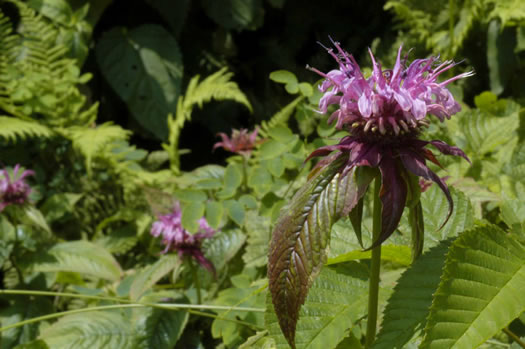 image of Monarda media, Purple Bee-balm