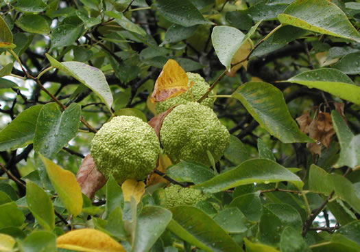 calyx: Maclura pomifera, Osage-orange, Hedge-apple, Bow-wood