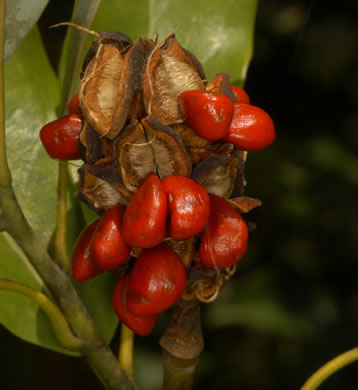 fruit of Magnolia virginiana +, Sweetbay, Sweetbay Magnolia, Swampbay