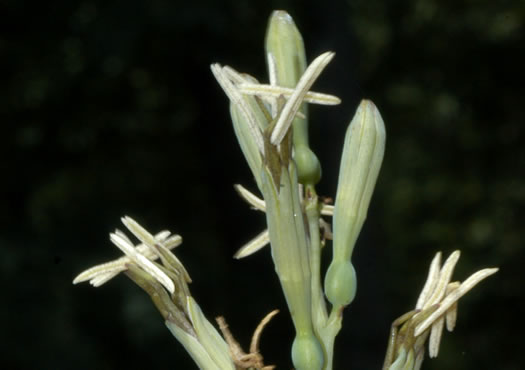 image of Manfreda virginica, Eastern False Aloe, Rattlesnake-master