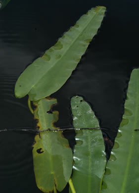 image of Nuphar sagittifolia, Narrowleaf Pondlily, Cow-lily, Spatterdock, Bonnets